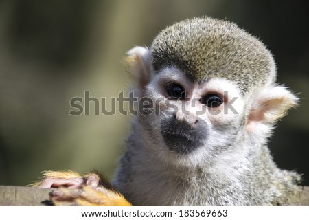 Little squirrel monkey looking at you. - stock photo
