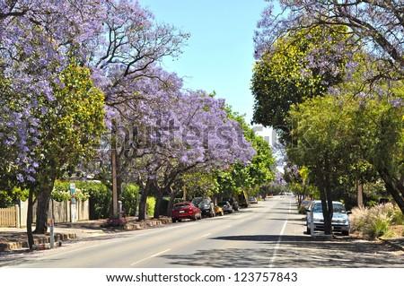 Little suburban street full of green trees and blooming jacaranda. Adelaide, Australia - stock photo