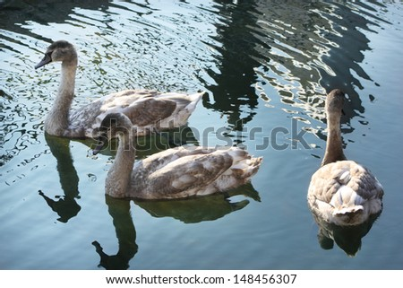 Little swans. Ugly ducklings. - stock photo