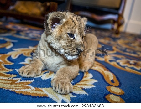 Little sweet beautiful young lion resting lazily in a city apartment on the floor carpet. Lion Cub. Shallow depth of field. selective focus - stock photo