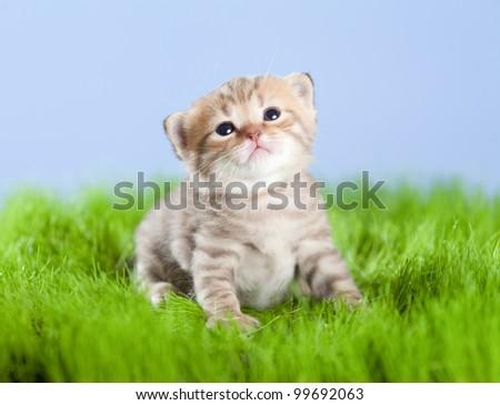 little tabby kitten Scottish looking upward on green grass - stock photo