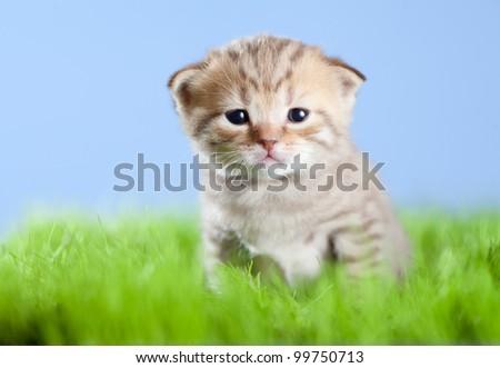 little tabby kitten Scottish on green grass - stock photo