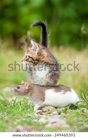Little tabby kitten with a rat  - stock photo