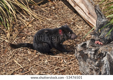 Little Tasmanian Devil. Nocturnal Australian Animal - stock photo