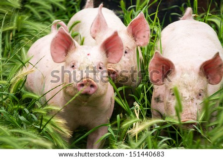Little three pigs on the field in summer - stock photo