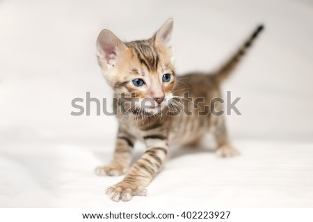 Little toyger kitten. Pedigreed domestic cat. Feline face close up. Bengal kitten two weeks old. - stock photo