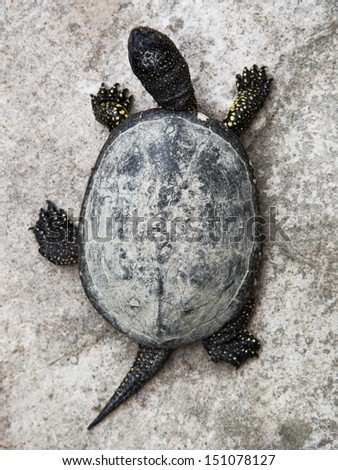 Little turtle from above - stock photo