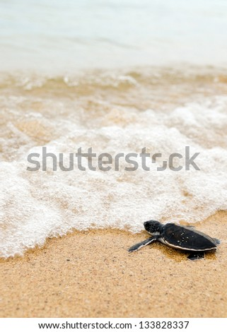 Little turtle go oceans - stock photo