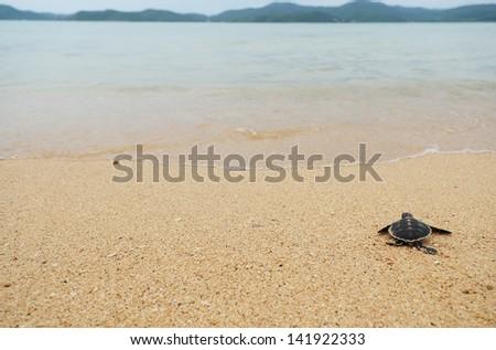 Little turtle go oceans - stock photo