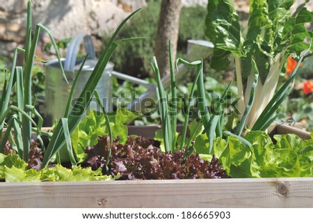 little vegetable garden square with lettuce, onions and chard - stock photo