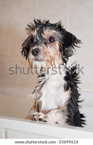 little wet boomer dog taking a bath - stock photo