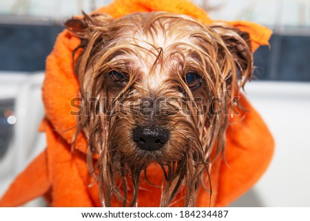 Little wet Yorkshire terrier with orange towel, after the bath - stock photo