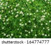Little white Daisy - stock photo