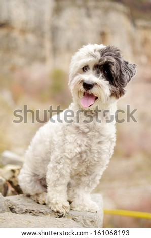 little white dog resting on a mountain top - stock photo
