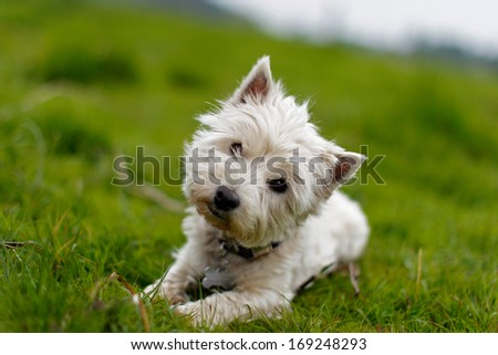Little white dog tilting its head - stock photo