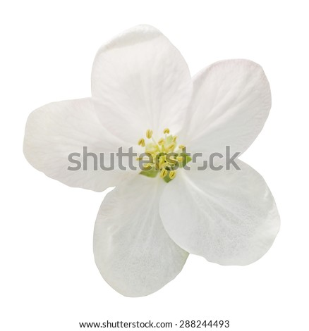 Little white flower flax isolated on white macro - stock photo