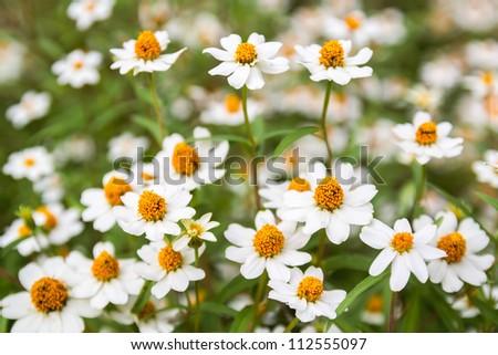 Little white flower with yellow pollen in garden - stock photo