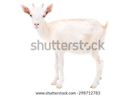 Little white goat isolated on white background - stock photo