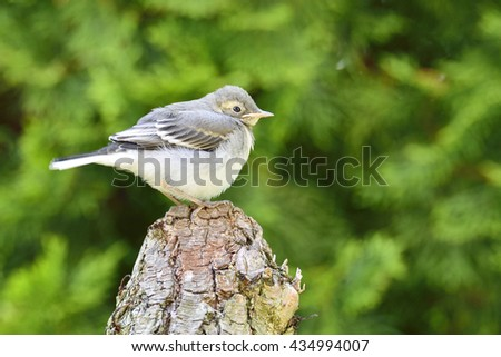 Little White wagtail on a tree trunk - stock photo