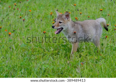 Little Wolf Pup in green grass and wildflowers. - stock photo