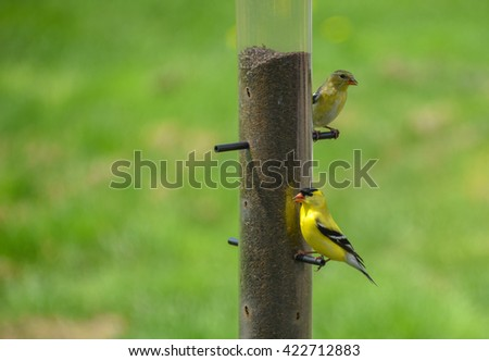 Little Yellow birds - American Goldfinches (Spinus tristis) feeding at a seed feeder as they make their new homes. - stock photo