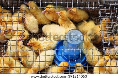 Little yellow ducklings - stock photo