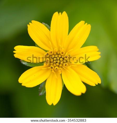 Little yellow flower close up - stock photo