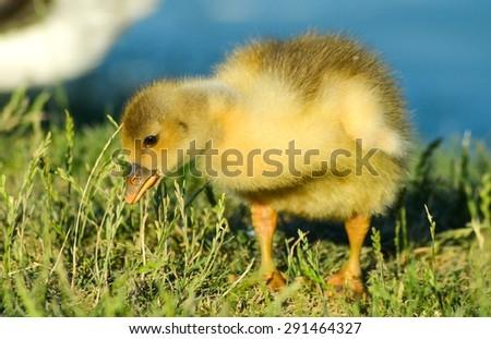 Little yellow gosling on green grass - stock photo