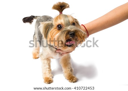 Little Yorkie playing with groomer's hand - isolated on white and with shadow on the floor - stock photo