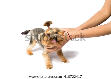 Little Yorkie pup playing with groomer's hand - isolated on white and with shadow on the floor - stock photo