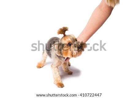 Little Yorkie pup with groomer's hand - isolated on white and with shadow on the floor - stock photo