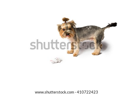 Little Yorkie puppy playing with white rabbit - isolated on white and with shadow on the floor - stock photo