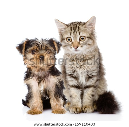 little Yorkshire Terrier and tabby kitten. isolated on white background - stock photo