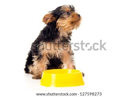 little Yorkshire terrier eats - stock photo