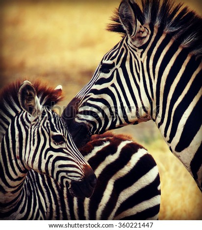 little zebra with his mother photographed during a African safari - stock photo