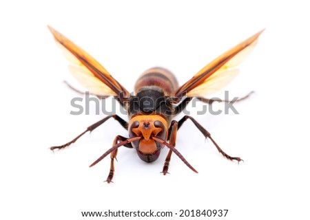 live big hornet on white background - stock photo