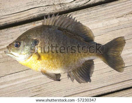 Live bluegill on the dock - stock photo
