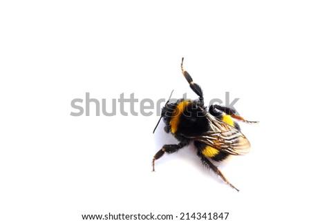live bumblebee on white background - stock photo