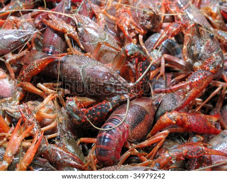 Live crawfish ready for boiling - stock photo