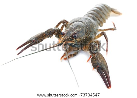 Live crayfish. Crayfish on a white background - stock photo