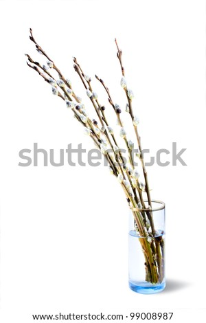 Live furry pussy willow catkins cover line the branches rising out of a clear glass vase on a white background - stock photo