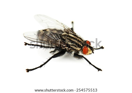 live house fly on white background - stock photo
