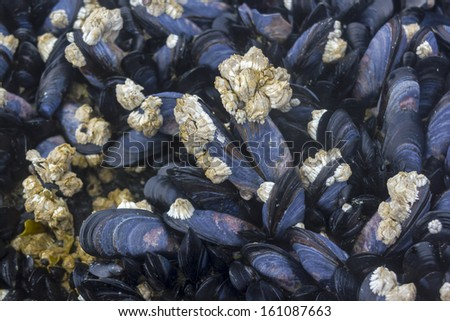 Live mussels bed in intertidal zone background. - stock photo