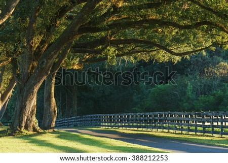 Live oak trees with four board farm fence in the rural countryside farm or ranch by a road looking serene peaceful calm relaxing beautiful southern tranquil  - stock photo