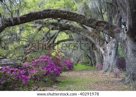 Live Oaks and colorful azaleas on Magnolia Plantation in Charleston South Carolina. - stock photo