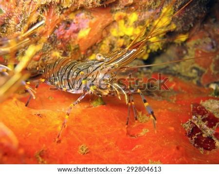 Live specimen of a Crangon crangon shrimp, underwater in the Mediterranean sea, commonly called brown shrimp, common shrimp, bay shrimp and sand shrimp - stock photo