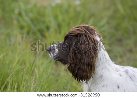 Liver and white working Spaniel inthe long grass - stock photo
