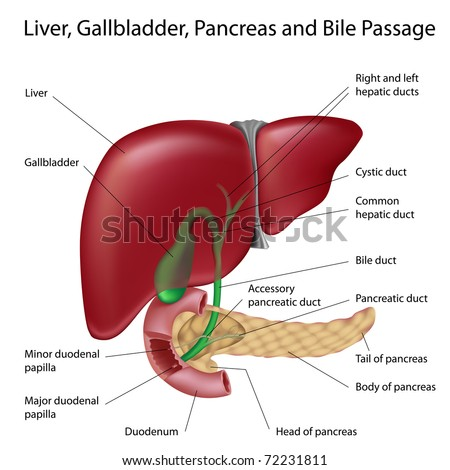 Liver Anatomy Stock Photos, Images, & Pictures | Shutterstock