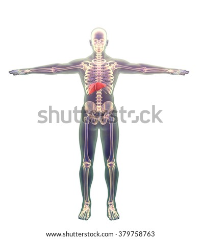 liver in a human male, showing the liver on the models of human models, position liver in the human body, human skeleton and liver on the white background, Male anatomy liver positioning - stock photo