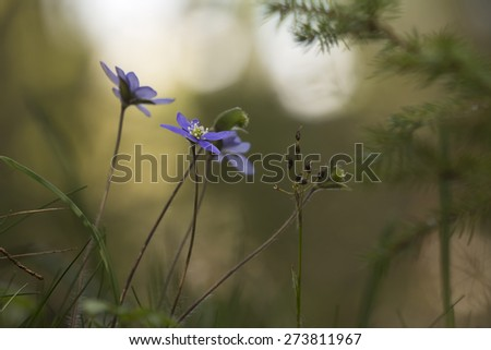 Liverleafs, Hepatica nobilis, sunlight in the backgrund - stock photo